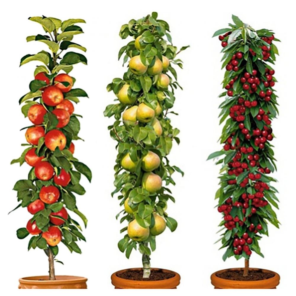 Set Of 3 Pillar Fruit Trees