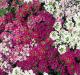 Mixed Alyssum Flower Mats x 5